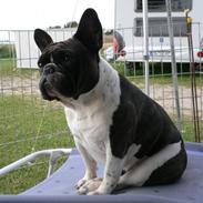 Fransk bulldog Zuzette du Nord *Carla*