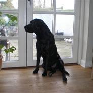 Labrador retriever *Oscar- min vagthunden*