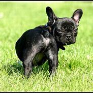 Fransk bulldog King
