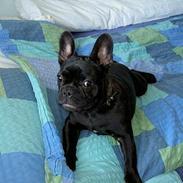 Fransk bulldog Suzi