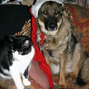 Schæferhund Carla