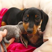 Gravhund Bella
