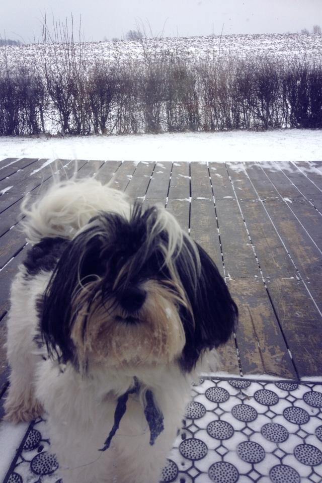 Løwchen Louie (Lion's Of Denmark Wild Chien Noir) - Louie med sit rette element i baggrunden. SNE <3  billede 2