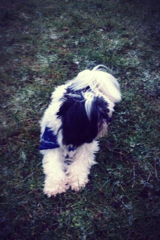 Løwchen Louie (Lion's Of Denmark Wild Chien Noir) - Louie med sit fine lille tørklæde :)  billede 7