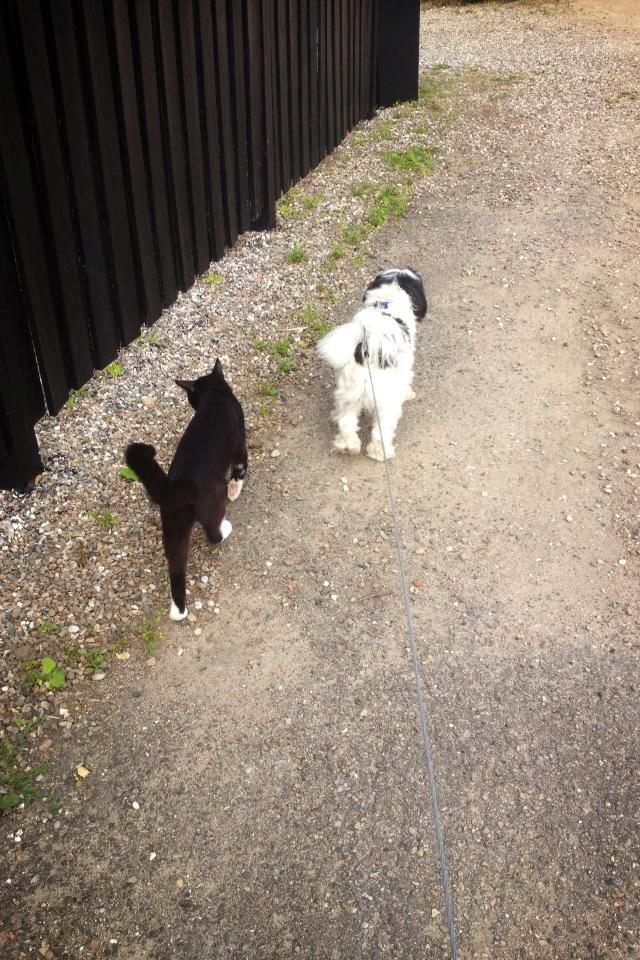 Løwchen Louie (Lion's Of Denmark Wild Chien Noir) - Louie sammen med missen Nuller som altid følger os på gå turene :)  billede 11
