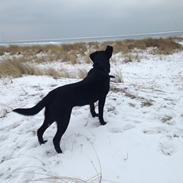Labrador retriever Ester