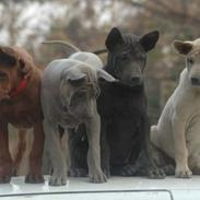 Thai ridgeback dog Aros shadow