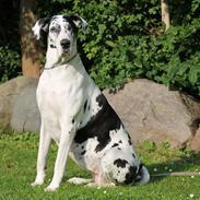 Grand danois Horsebjerg Athena (Himmelhund)