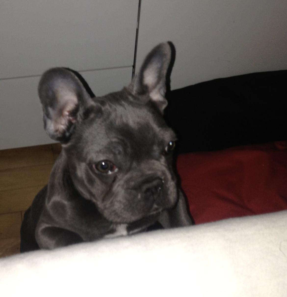 blå fransk bulldog til salg