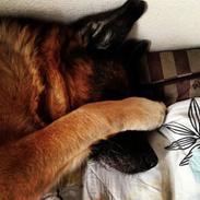 Schæferhund Unna