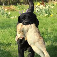 Labrador retriever Mochipappa's Bobby Mcferrin