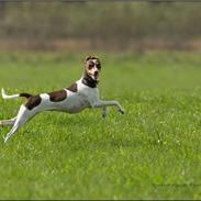 Terrier Brasileiro True Staff Double Trouble(Kenya)
