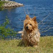 Australsk terrier Luka