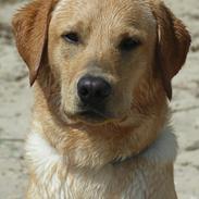 Labrador retriever Kado Jackpot