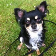 Chihuahua Pago Pjevsen *Delehund*