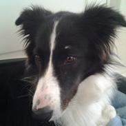 Border collie Kato