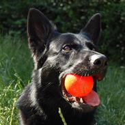 Schæferhund Nelly *AKA* Terroristen.