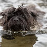 Cairn terrier Citta