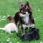 Chihuahua Ayumi Von Edertal