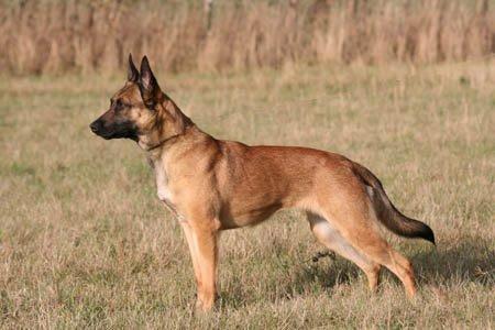 Frisk Malinois Mallesmedens 007 (kaldenavn: Ecco). - Billeder af hunde HF-74