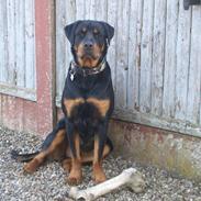 Rottweiler Theis *R.I.P.*