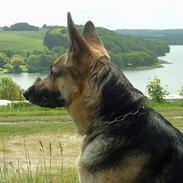 Schæferhund Sille (Zacho Rini)