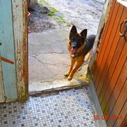 Schæferhund Sille