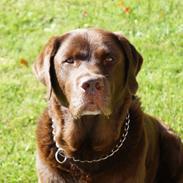 Labrador retriever Louie