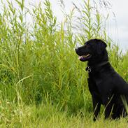 Labrador retriever Sofus