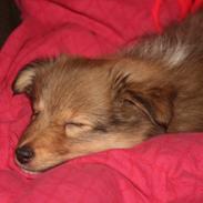 Shetland sheepdog Luna
