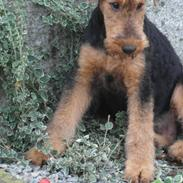 Airedale terrier Shadow Of Aire Love Song