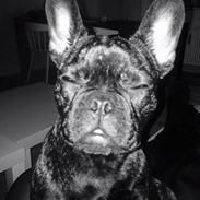 """Fransk bulldog Venges Marseille """"Bodil"""""""