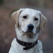 Labrador retriever Holly