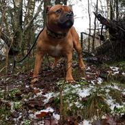 Staffordshire bull terrier Cooper