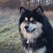 Finsk lapphund Happy Lapp Cosmo - Kenzo