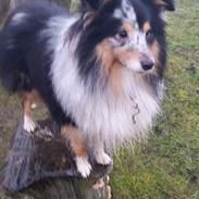 Shetland sheepdog Meeko