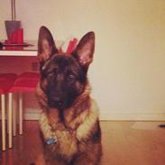 Schæferhund Kenzo - Himmelhunden <3