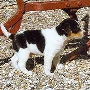 Dansk svensk gaardhund DKCH NOCH WVW11 Baloo