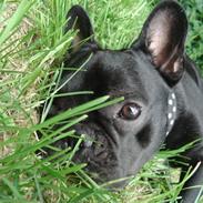 Fransk bulldog Eigil