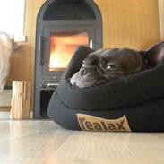 Fransk bulldog - Kira -