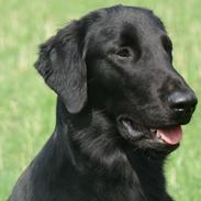 "Flat coated retriever Tanima Flatcoats - Catch A Wave  ""Homer"""