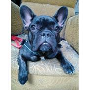 Fransk bulldog Kenzi Johansen (fra Lissipia's)