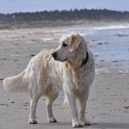 Golden retriever Mocca