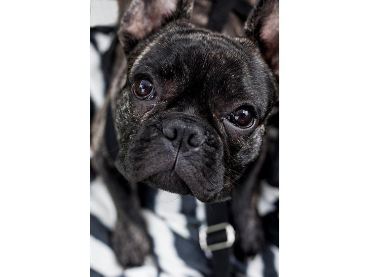 fransk stor hund