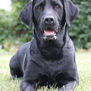 Labrador retriever Eshøjs Trille