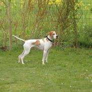 Pointer Oksby Lucca