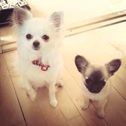 Chihuahua Chihuahua-Bandens Kiwi