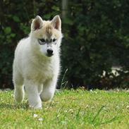 Siberian husky Zeven