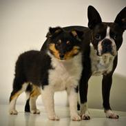 Shetland sheepdog Microgården's Zusie Q aka Esther