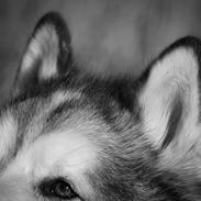 Alaskan malamute Ricky